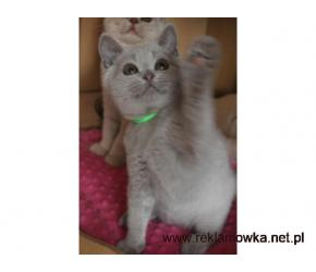 Liliowa koteczka brytyjska z rodowodem PZF-gotowa do zmiany domku
